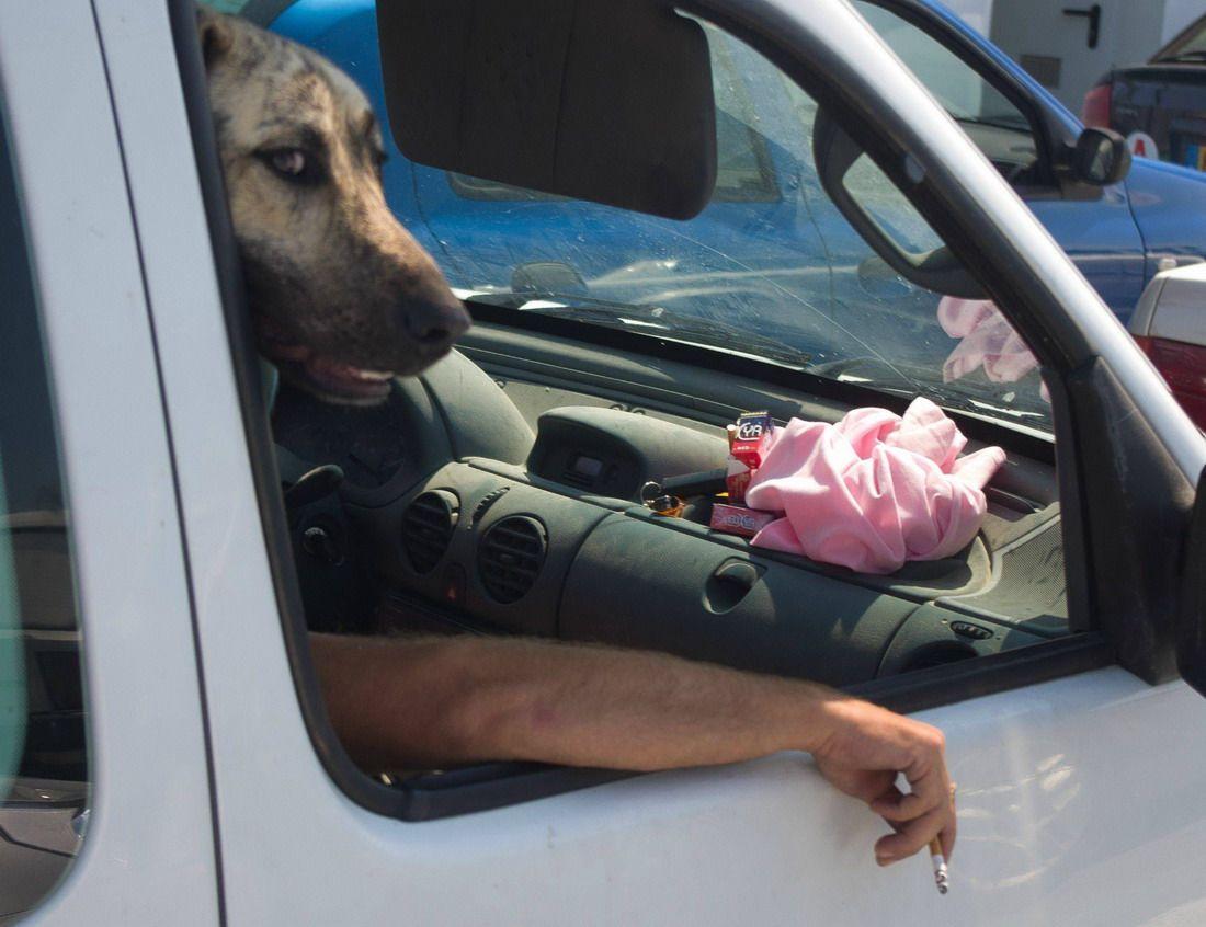 собака, автомобиль