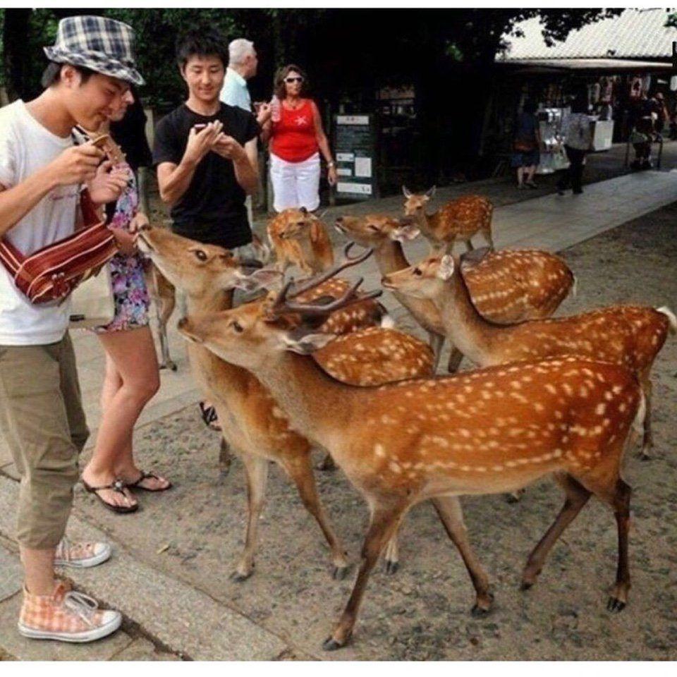 олени, Япония