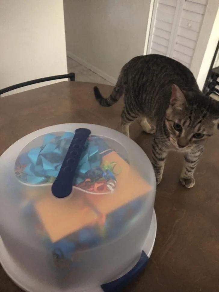 кот, защита