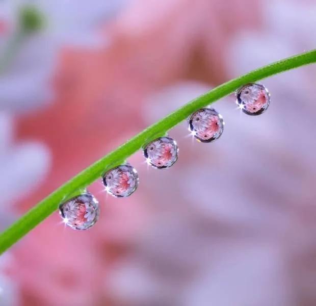 вода, капля, цветы