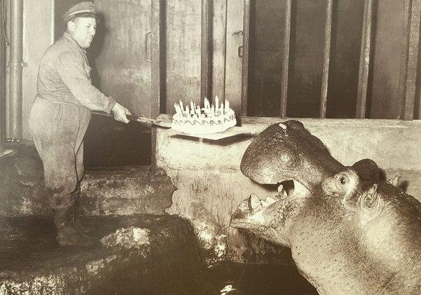 бегемот, торт