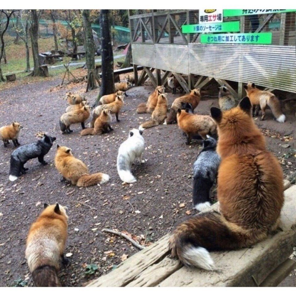 Япония, лисы