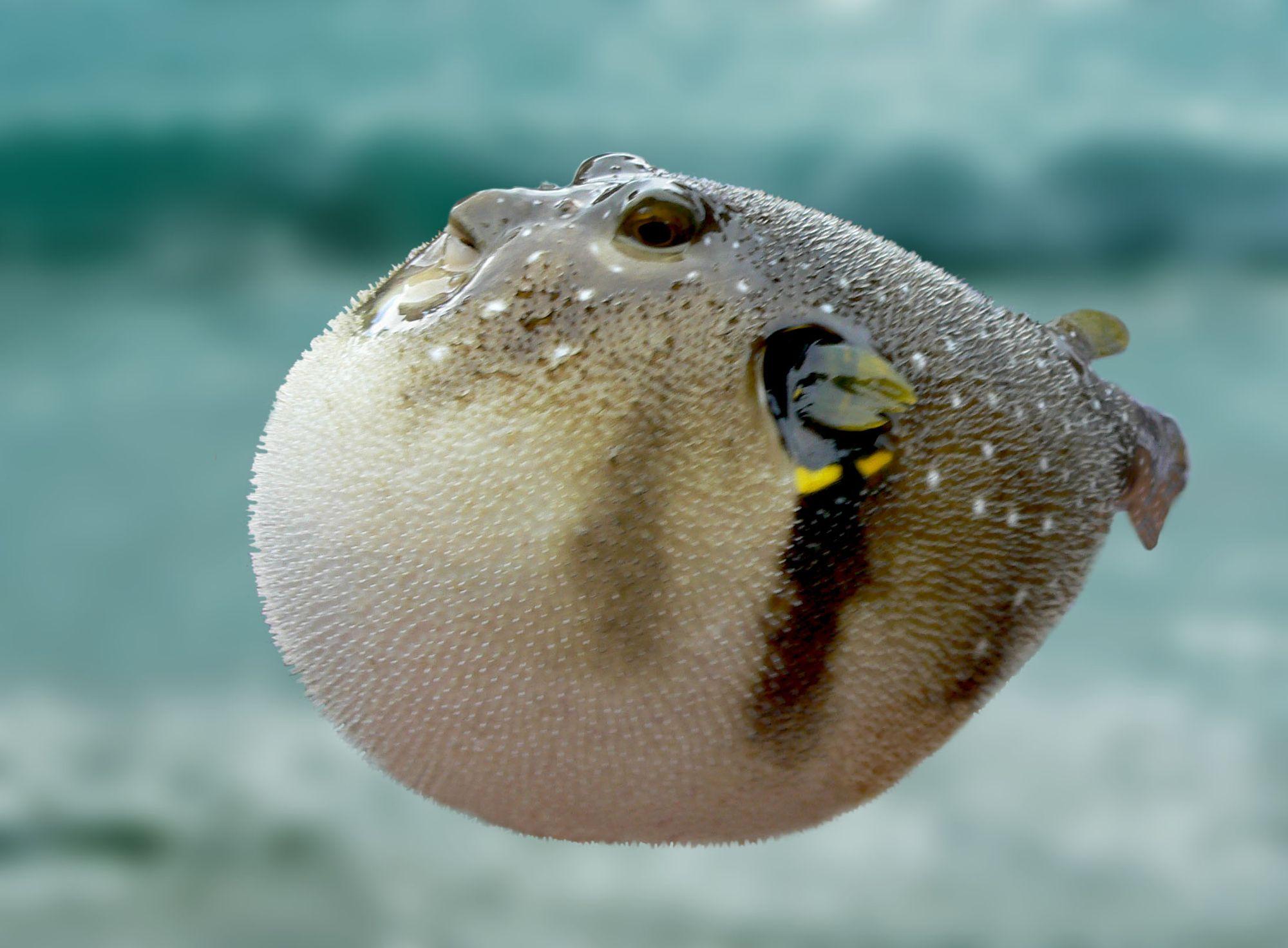 фугу, рыба