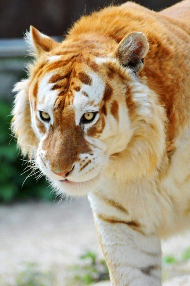 Чрезвычайно редкий зверь / Фото: ©mixnews.lv