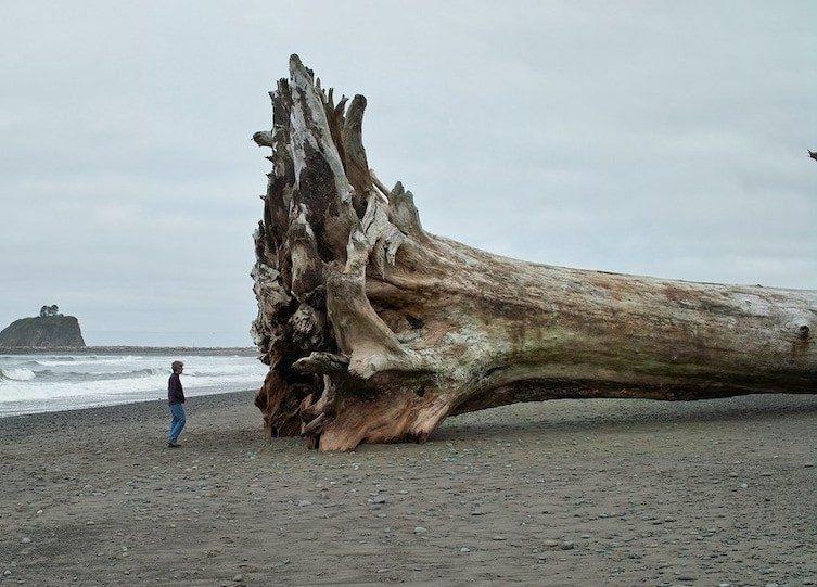 До ужаса огромное дерево / Фото: ©mixnews.lv