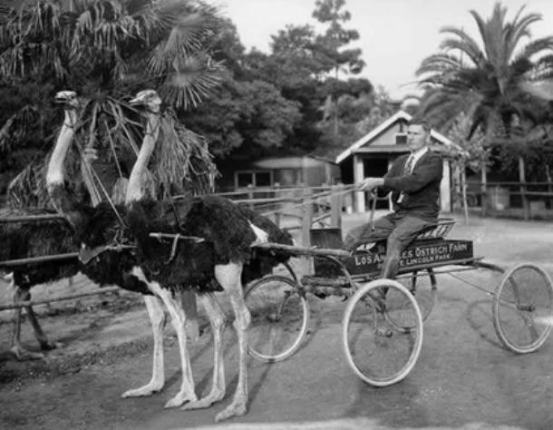 страус, упряжка, транспорт
