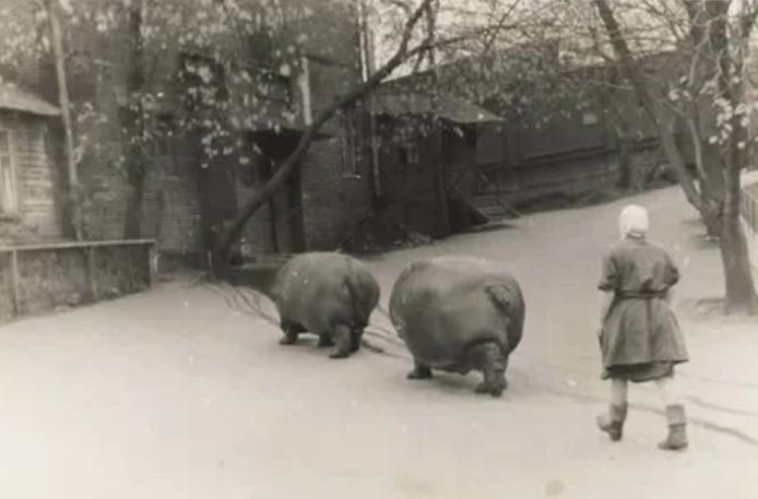Выгул бегемотов в зоопарке, 1950–е годы, Москва
