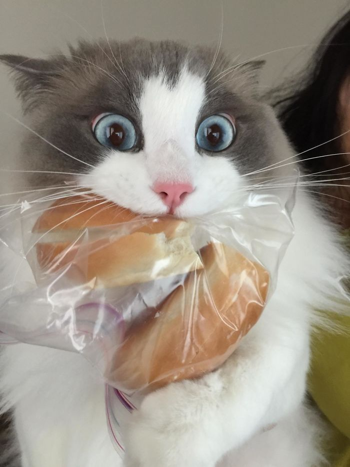 кот, булка