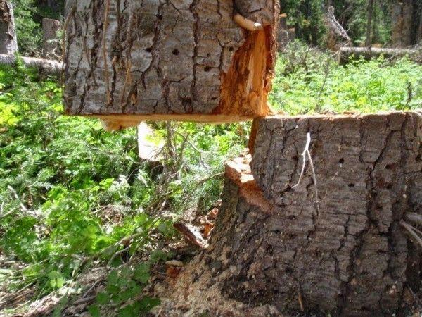 Вырастет ли на месте сруба новое двойное дерево? \ Фото: ©porosenka.net