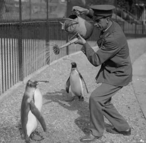 Пингвинов поливают водой в жару, 1930 год