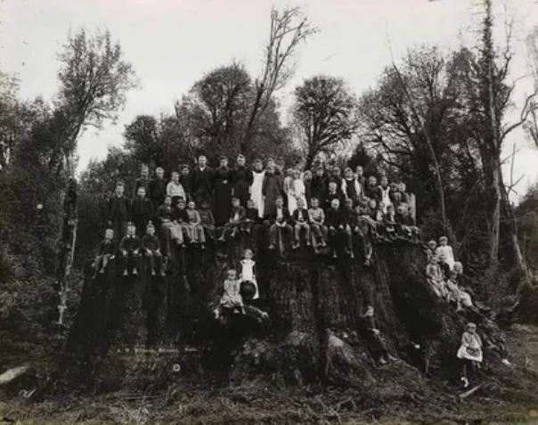 Филдбрукский пень, 1890-е