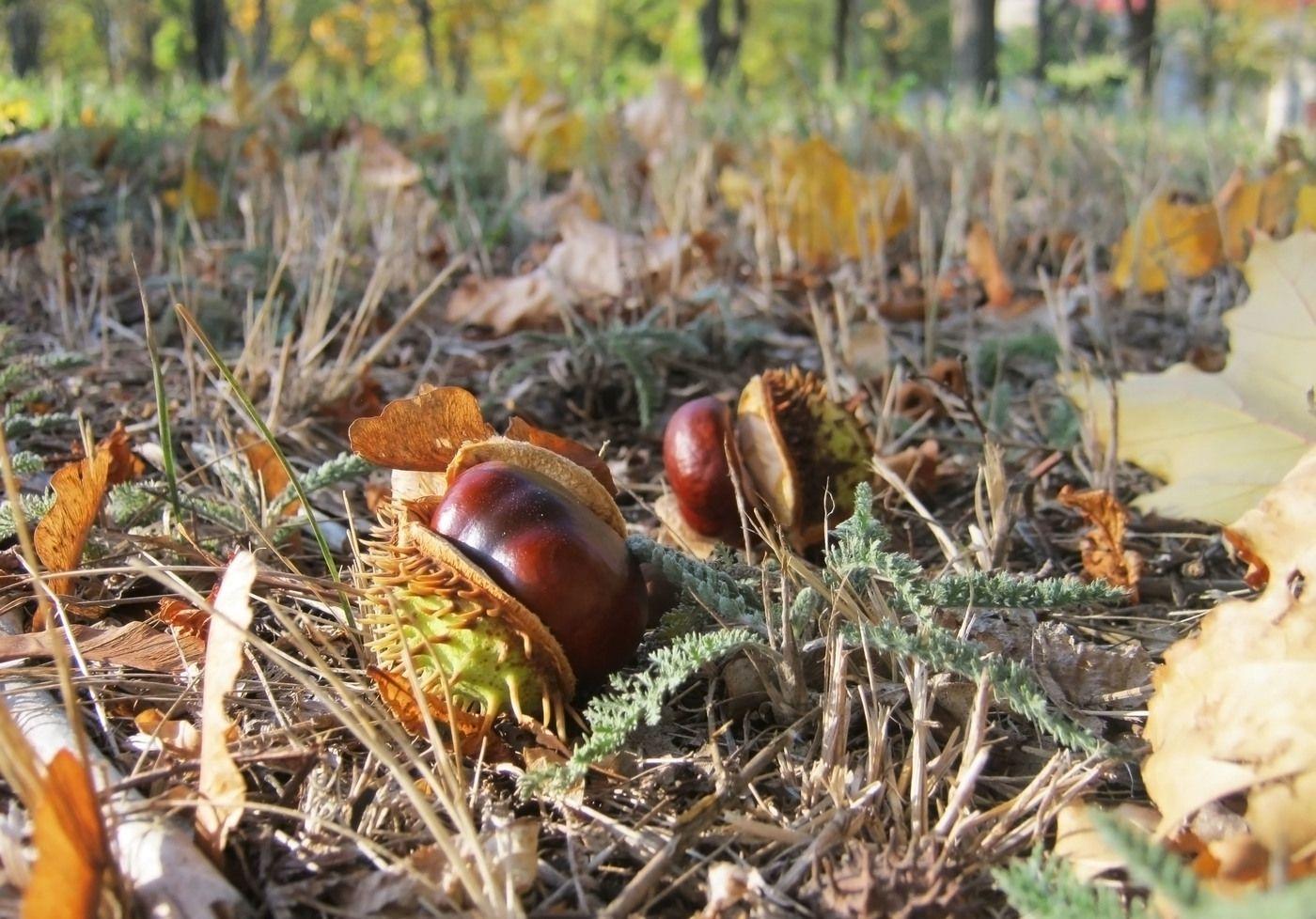 каштаны в лесу
