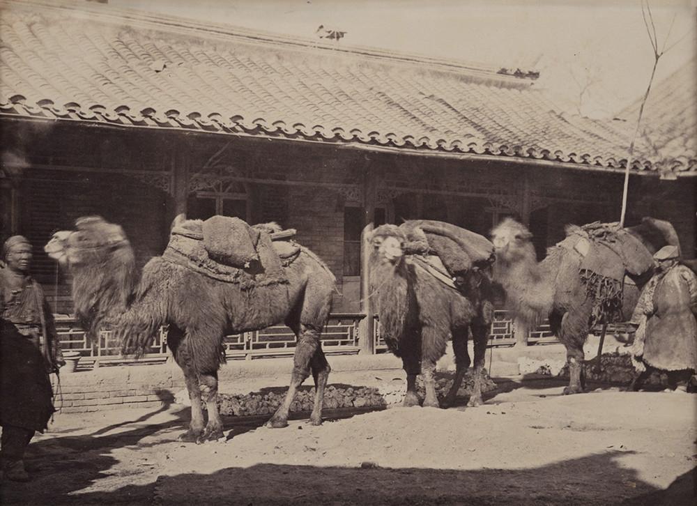 верблюды, Китай