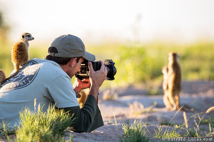 сурикаты, фотограф