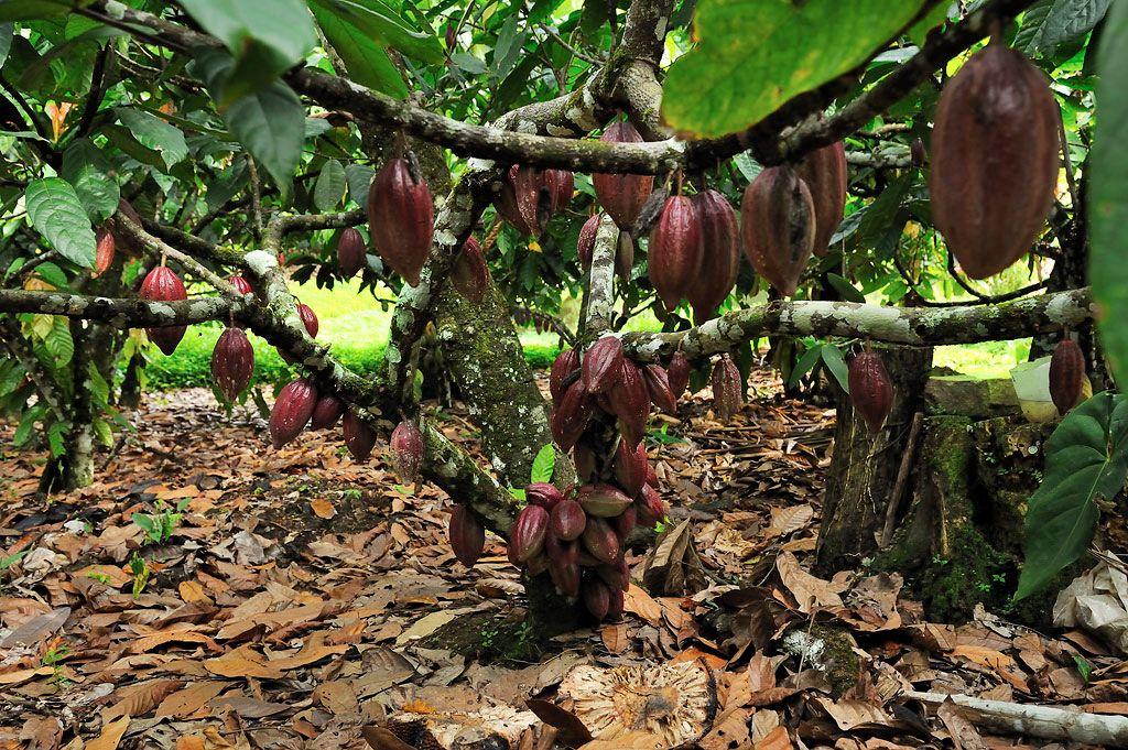 какао, дерево