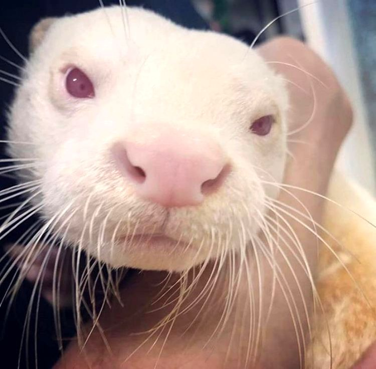 Маленькая выдра-альбинос