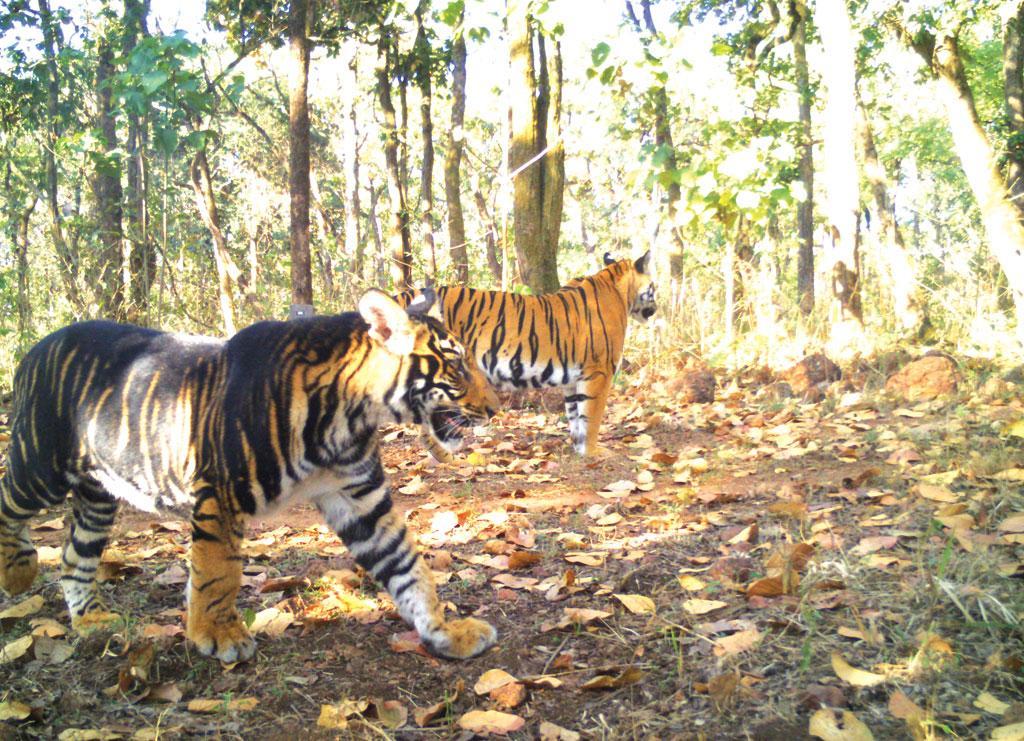 Тигр с невероятной окраской
