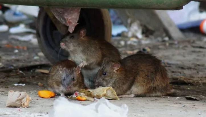 Крыс до сих пор считают виновными в масштабности чумы
