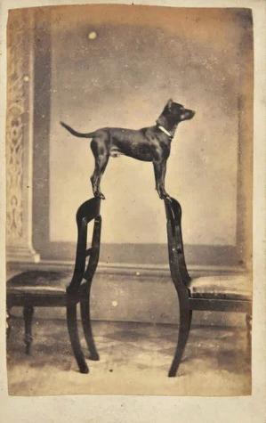 собака, стулья, баланс