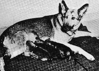 собака, щенята