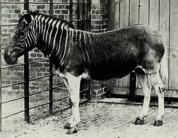 квагги, животное, зоопарк