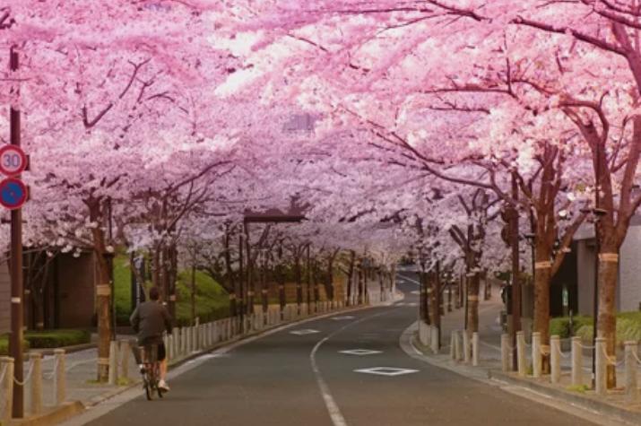 сакура,Япония