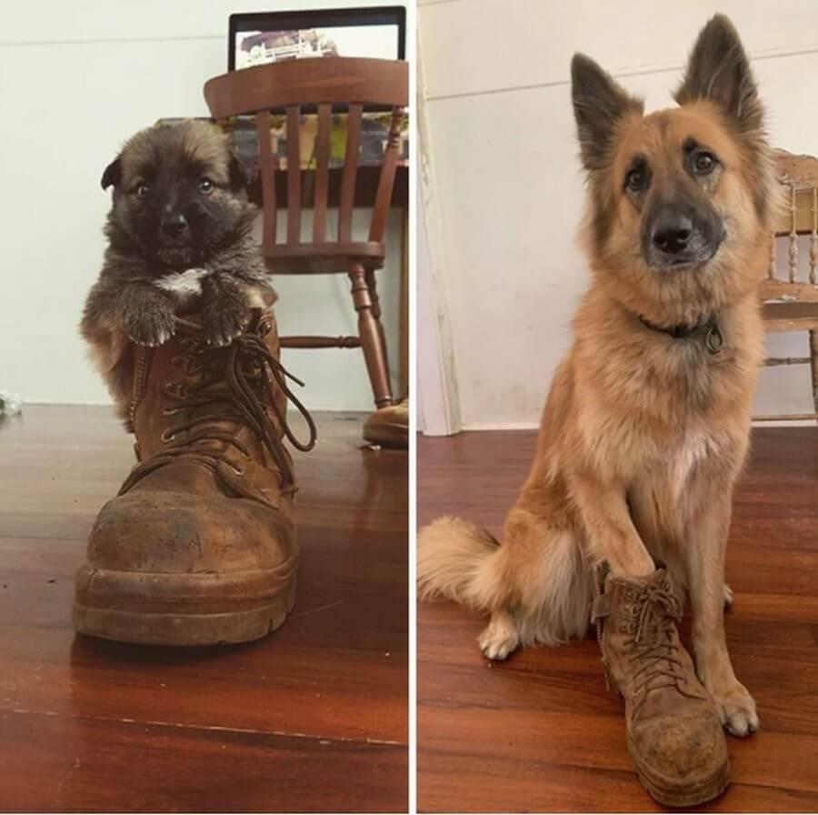 щенок, собака, ботинок