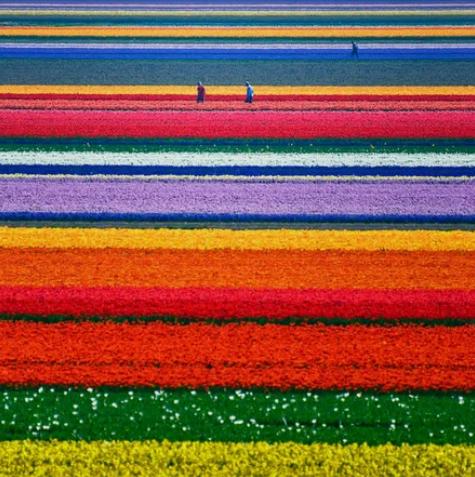 Поля тюльпанов в Нидерландах / Allard Schager