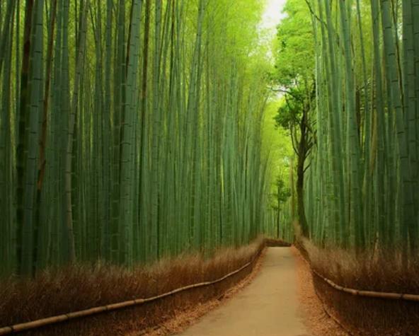 Бамбуковый лес, Япония / Yuya Horikawa | Tomoaki Kabe