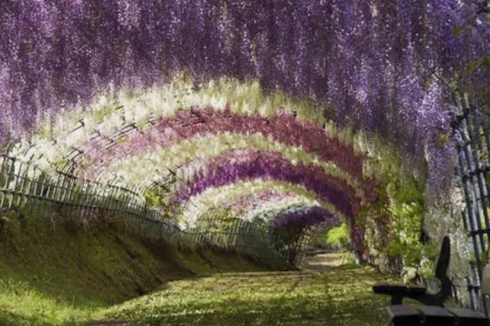 Цветочный туннель глицинии в Японии / imgur.com | mindphoto.blog.fc2.com
