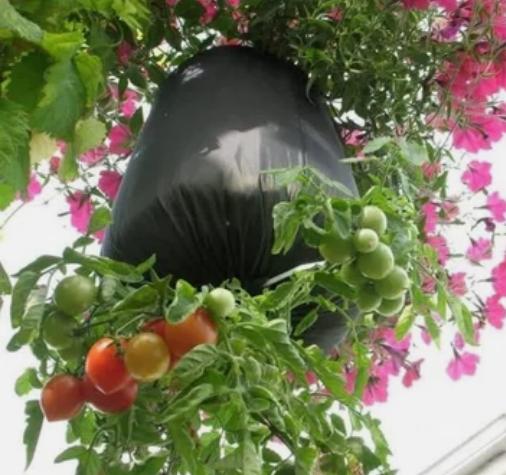 участок, томаты, выращивание