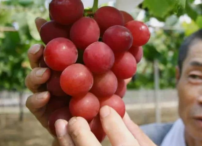 виноград, сорт, Япония