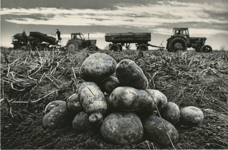 Сбой картофеля пятьдесят лет назад
