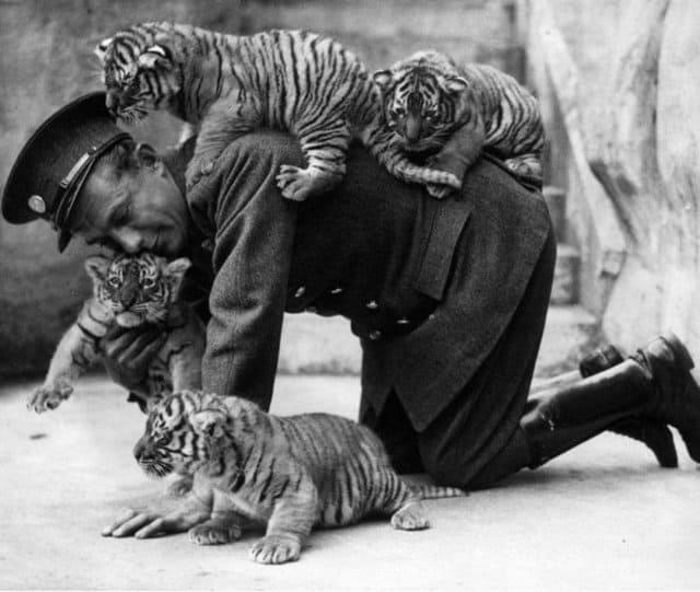 мужчина, тигрята, зоопарк