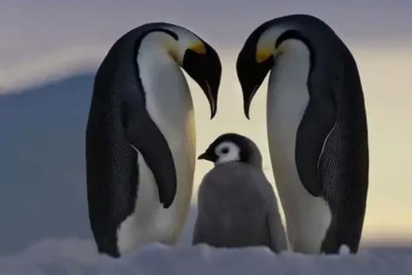 Антарктида - единственное место на планете, где можно найти императорского пингвина