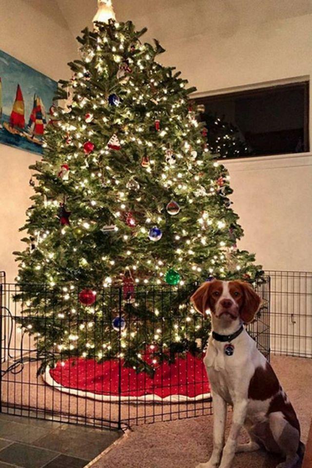 собака, елка